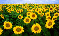 800px-Sunflowers.jpg